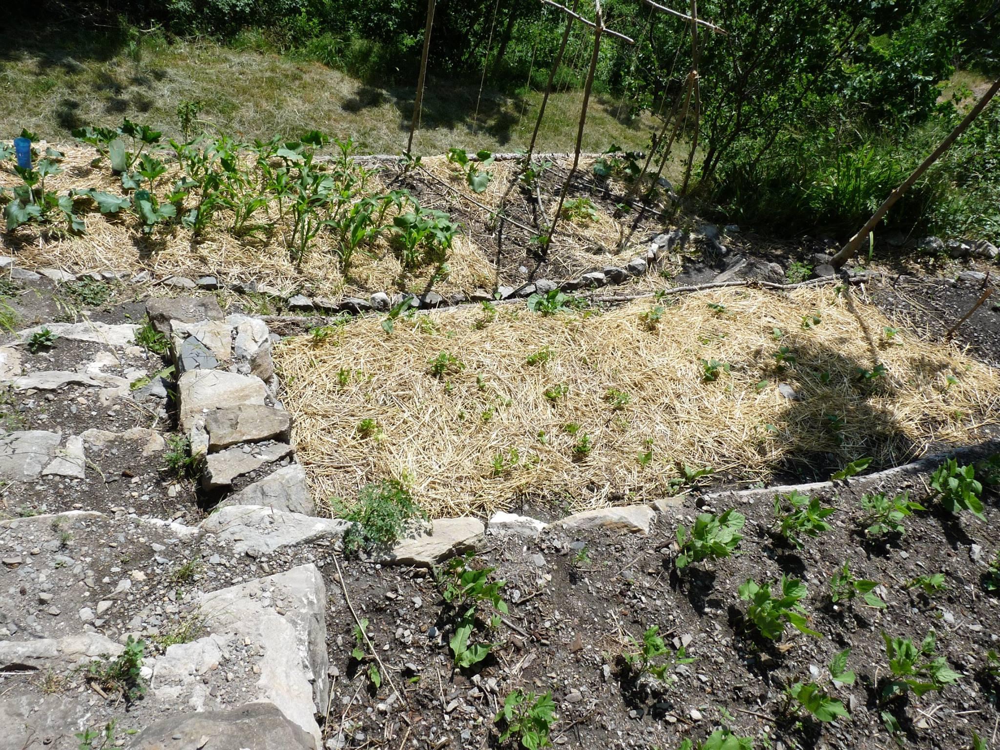 les haricots verts poussent pres de barcelonnette